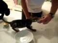 Gatinho luta com dono por lata de comida