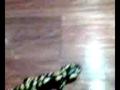 salamandras a comerem