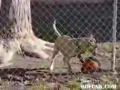 Cão equilibrista