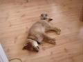 Cão que «fala» a dormir