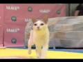 Exposição Felina no Madison Square Garden, NY