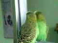 Periquito trava amizade com espelho