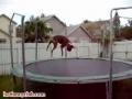 Cão salta no trampolim